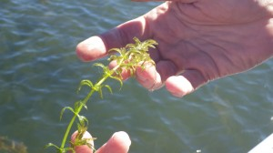 Close up of hydrilla found in Hickory Ridge Cove 10/21 by DNR
